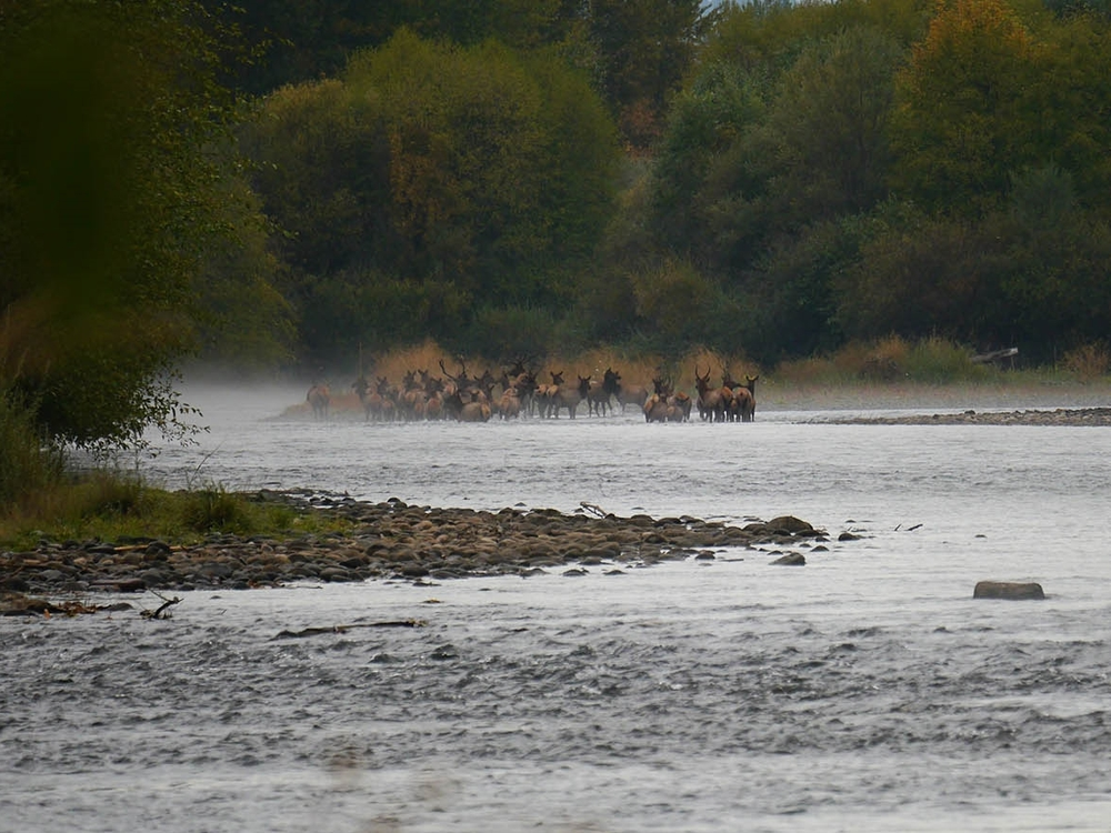 Elk spotted forging the Rogue River at the Rogue River Preserve. Thomas Craig photo