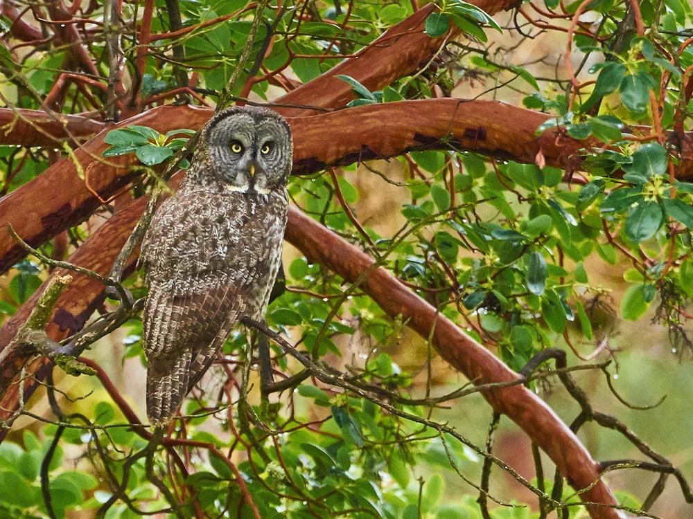 Great Gray Owl. Frank Lospalluto photo.