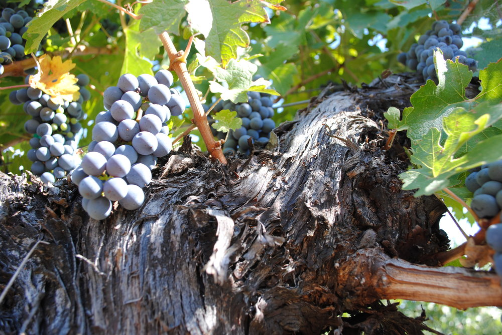 A portion of the farm is dedicated to growing 7 varieties of grapes.