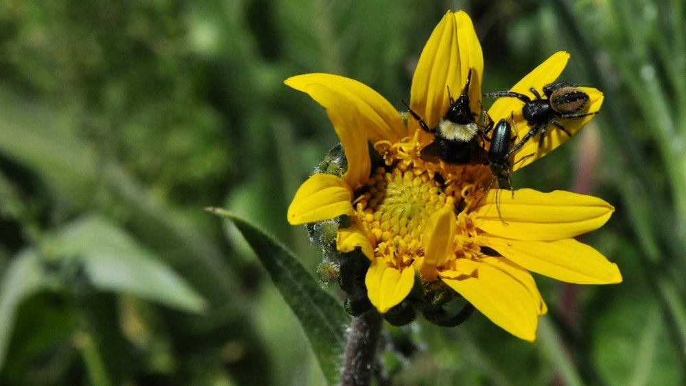 California Bumble Bee with jumping spider and beetle. Photo taken at the City of Ashland Imperatrice property by Pepper Trail