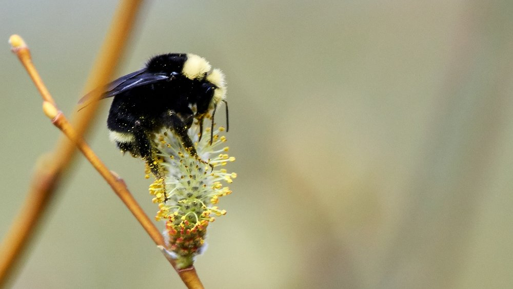 Yellow-faced bumble bee pollinating a willow tree. Photo by Frank Lospalluto.