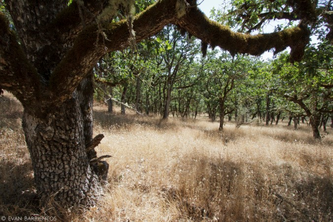 """Healthy oak habitat on Jim's property, protected by a conservation easement.       Normal   0             false   false   false     EN-US   X-NONE   X-NONE                                                                                                                                                                                                                                                                                                                                                                                                                                                                                                                                                                                                                                                                                                                                                                                                                                                                 /* Style Definitions */  table.MsoNormalTable {mso-style-name:""""Table Normal""""; mso-tstyle-rowband-size:0; mso-tstyle-colband-size:0; mso-style-noshow:yes; mso-style-priority:99; mso-style-parent:""""""""; mso-padding-alt:0in 5.4pt 0in 5.4pt; mso-para-margin:0in; mso-para-margin-bottom:.0001pt; mso-pagination:widow-orphan; font-size:12.0pt; font-family:""""Cambria"""",serif; mso-ascii-font-family:Cambria; mso-ascii-theme-font:minor-latin; mso-hansi-font-family:Cambria; mso-hansi-theme-font:minor-latin; mso-ansi-language:ES-TRAD;}"""