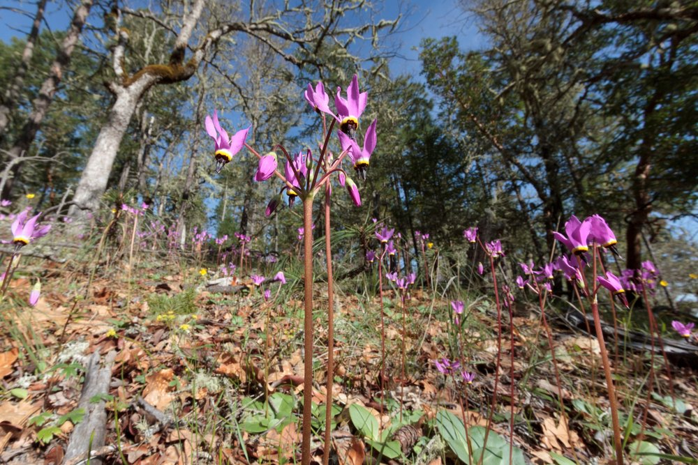 "Henderson's Shooting Stars ( Dodecathon hendersonii ) are one of the many plants abundant in healthy oak woodlands.       Normal   0             false   false   false     EN-US   X-NONE   X-NONE                                                                                                                                                                                                                                                                                                                                                                                                                                                                                                                                                                                                                                                                                                                                                                                                                                                                 /* Style Definitions */  table.MsoNormalTable 	{mso-style-name:""Table Normal""; 	mso-tstyle-rowband-size:0; 	mso-tstyle-colband-size:0; 	mso-style-noshow:yes; 	mso-style-priority:99; 	mso-style-parent:""""; 	mso-padding-alt:0in 5.4pt 0in 5.4pt; 	mso-para-margin:0in; 	mso-para-margin-bottom:.0001pt; 	mso-pagination:widow-orphan; 	font-size:12.0pt; 	font-family:""Cambria"",serif; 	mso-ascii-font-family:Cambria; 	mso-ascii-theme-font:minor-latin; 	mso-hansi-font-family:Cambria; 	mso-hansi-theme-font:minor-latin; 	mso-ansi-language:ES-TRAD;}"