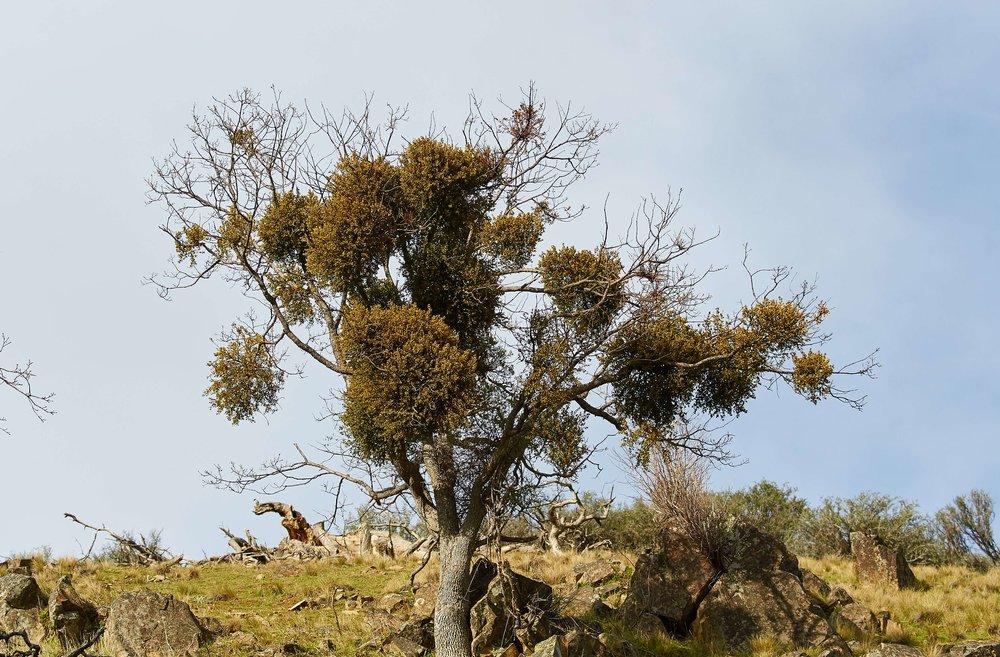 Oak Mistletoe photo by Frank Lospalluto.