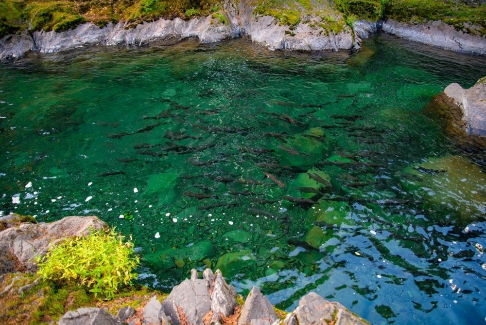 A school of coho salmon on their return journey from the ocean to a freshwater stream. Photo by Jeremy Walls.