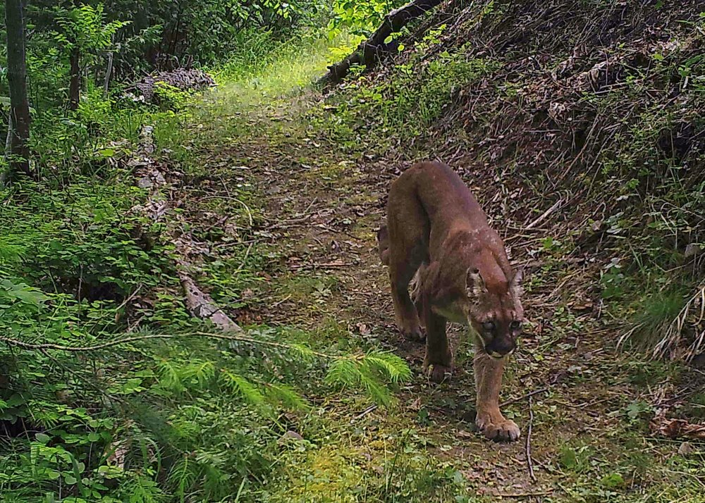 Mountain lion, taken with trail camera