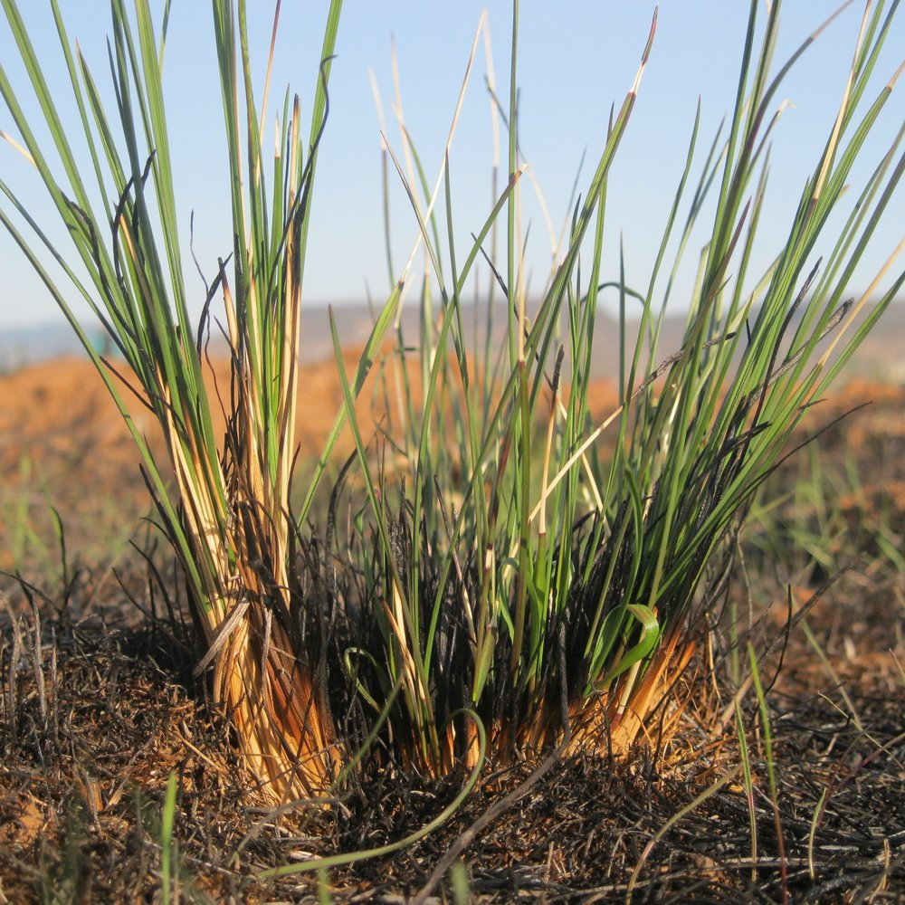 Resilent Lemmon's needlegrass sprouting post prescribed-burn at The Nature Conservancy's Agate Desert Preserve, Central Point.