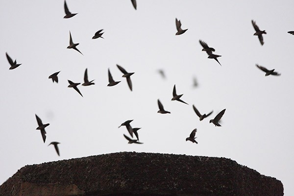 Vaux's Swifts entering Chapman Elementary School chimney. Photo by Scott Carpenter courtesy of  Audubon Society of Portland .