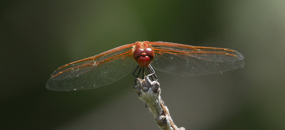 Red-veined Meadowhawk Norm Barrett.jpg