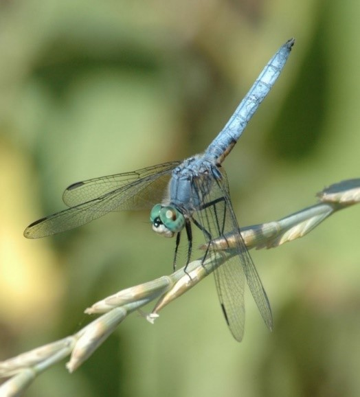 BLUE DASHER Male_NormBarrett.jpg