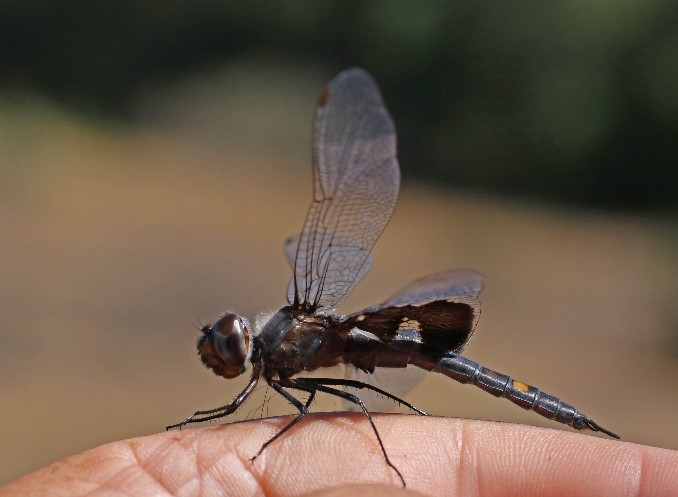 BLACK SADDLEBAGS_NormBarrett.jpg
