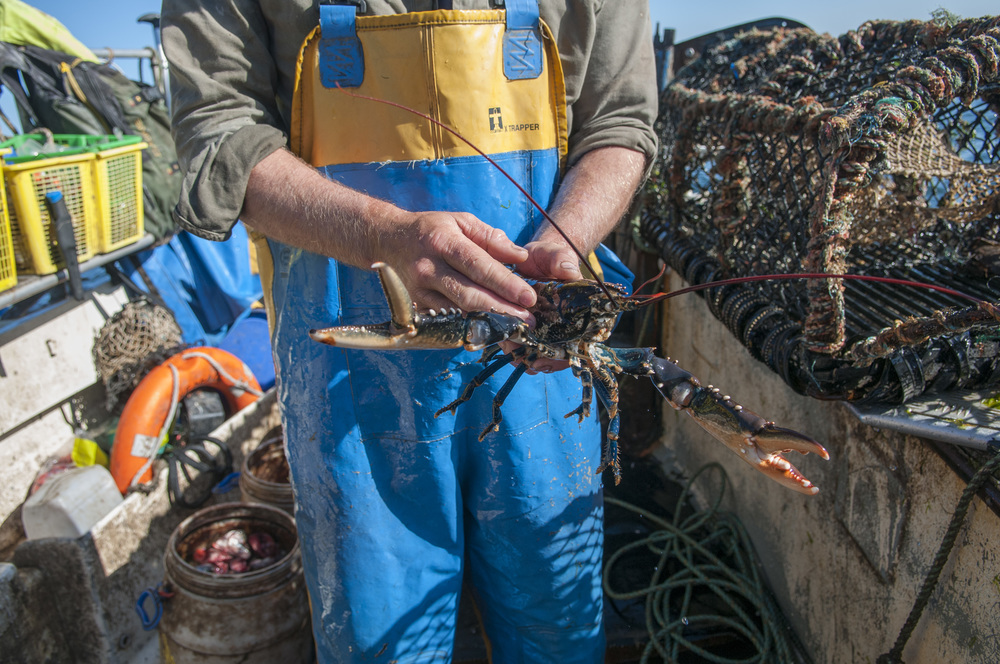 Robbie Dale, a fisherman from North Berwick, Scotland, shows off a lobster that he caught in one of his traps in the Firth of Forth Sea on Aug. 7, 2015 . This lobster would later be sold to one of their main customers, the Lobster Shack, a small seafood stand in the North Berwick harbor.