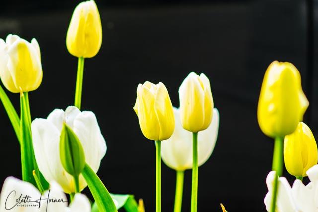 Yellow White Tulips.jpg