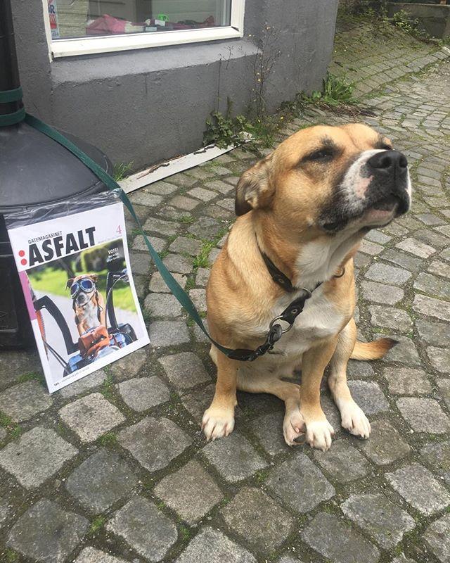 Forsidepiken har nesa i sky etter all oppmerksomheten. Neida. Gunda er gullegod ❤️ #gatemagasinetasfalt #hund #kjærlighet