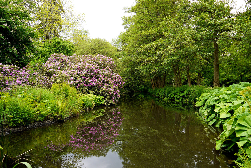 Rhododendrons with pond.jpg