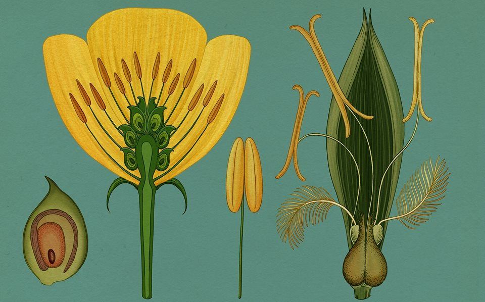 Anatomie d'une fleur, gros plan issu du livre Botanicum   / Flower Anatomy close up from Botanicum