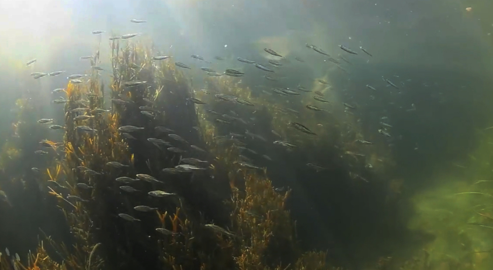 Click for video: Maine's Rockweed Forest