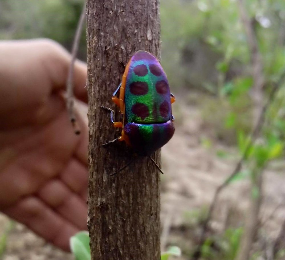 A stunning Rainbow shield bug ( Calidea dregii ).   Thank you dear Muzi Ranger for this awesome picture!
