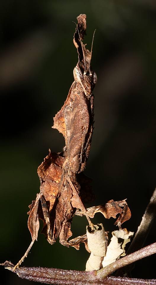 African ghost mantis  (P  hyllocrania paradoxa).   Photo: Zephian Alberts