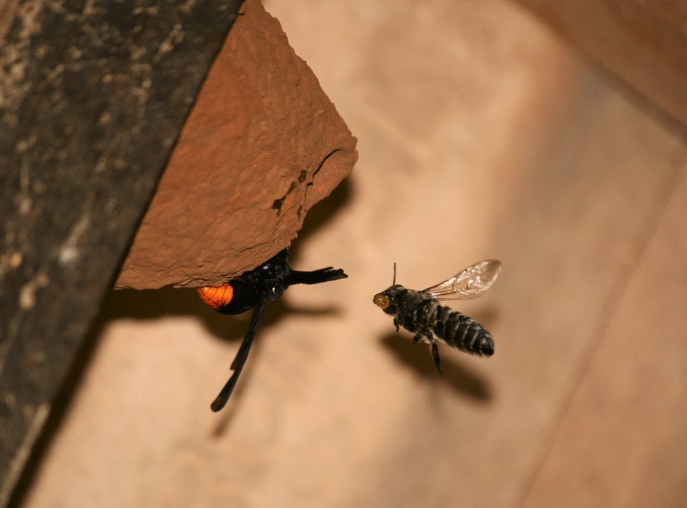 Synagris analis  and solitary bee using the same nest.