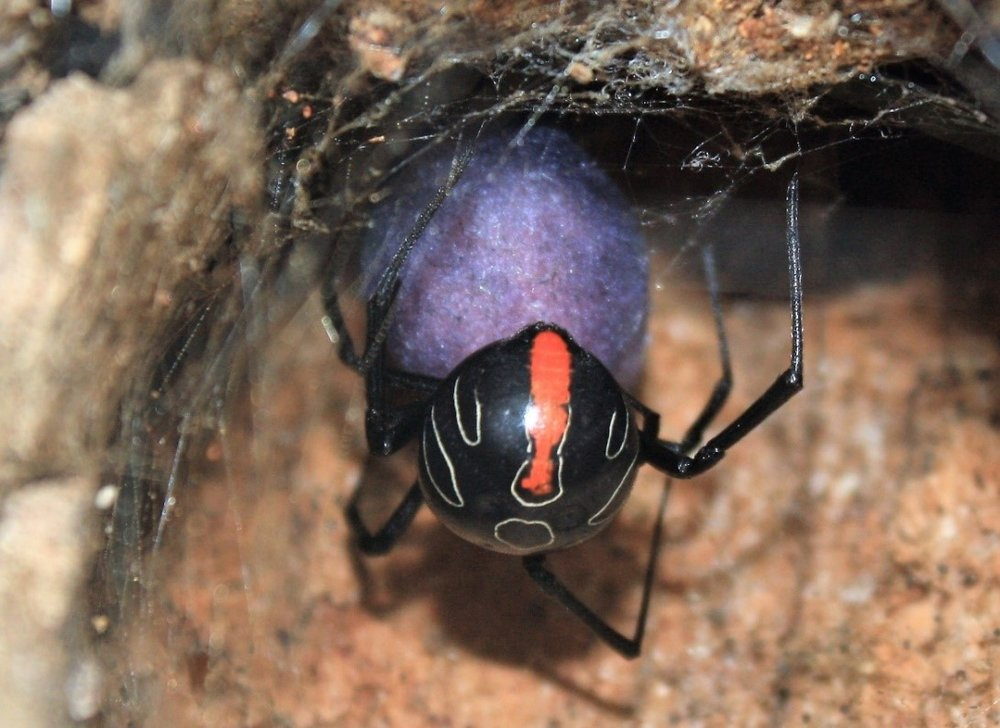Phinda button spider from Tembe on freshly laid bright purple egg sac under light (infertile - rounded). Changes to shiny grey once dried .