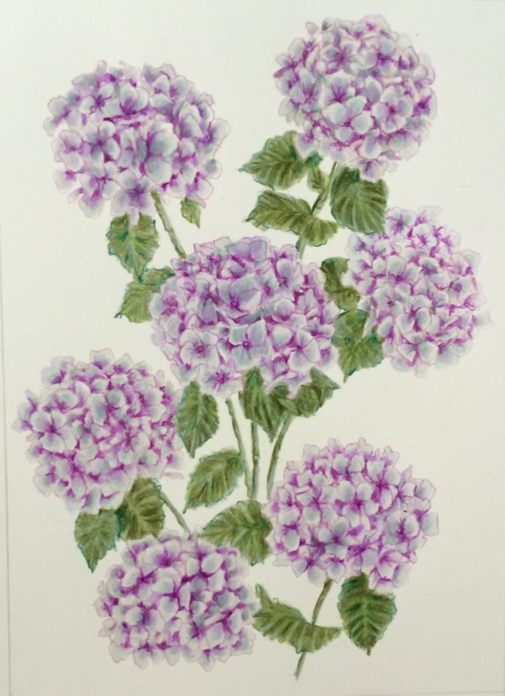 Mom's Hydrangeas | Colored Pencil on Bristol Paper
