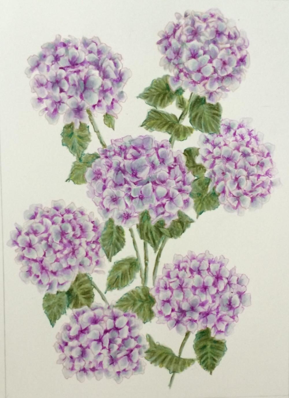 Mom's Hydrangeas | Colored Pencil on Bristol Paper