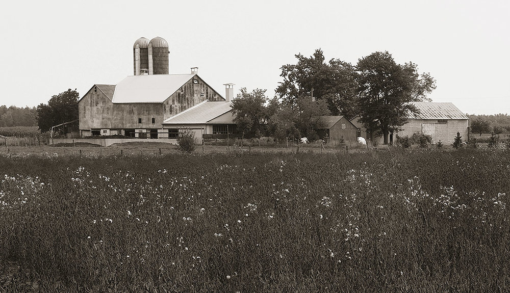 waterloo region landscape photo brown fields white flowers.jpg