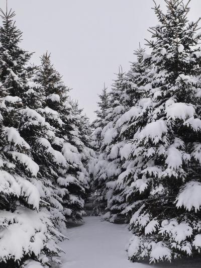 Erbsville Ontario Pines