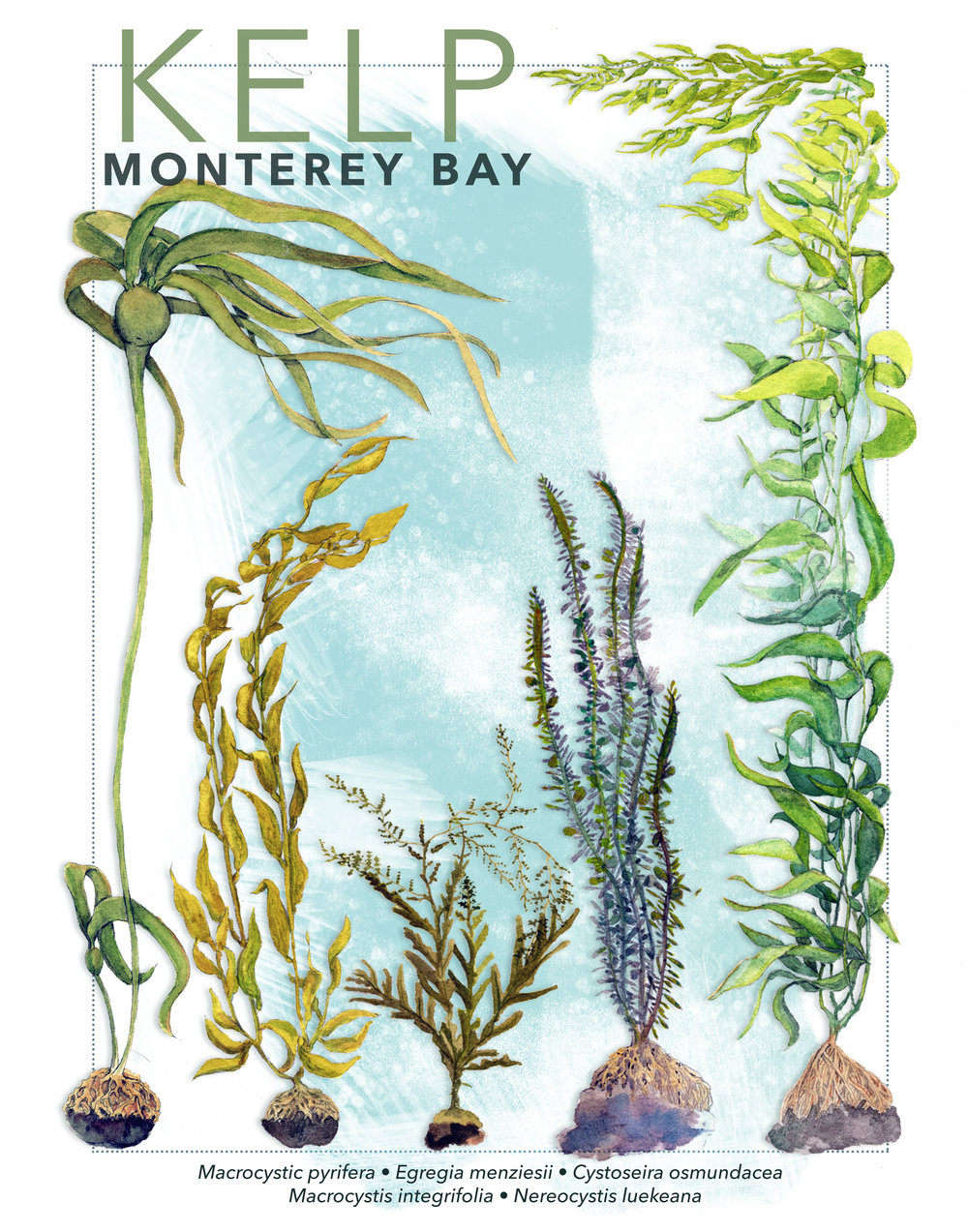 Kelp of Monterey Bay