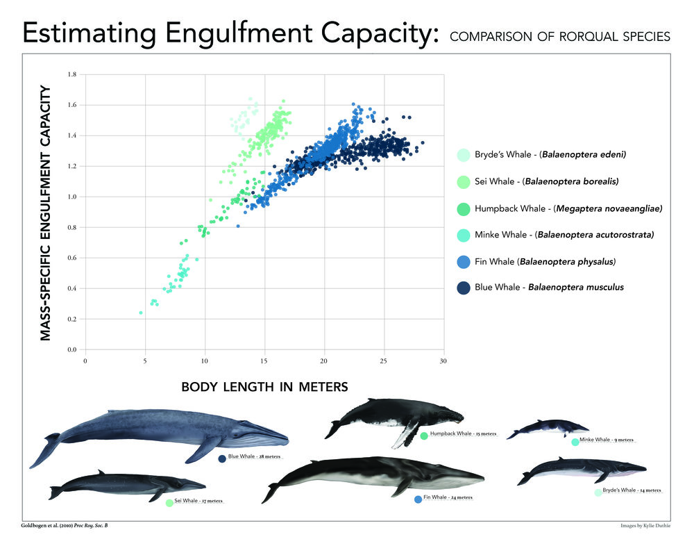 Comparison of Rorqual Species