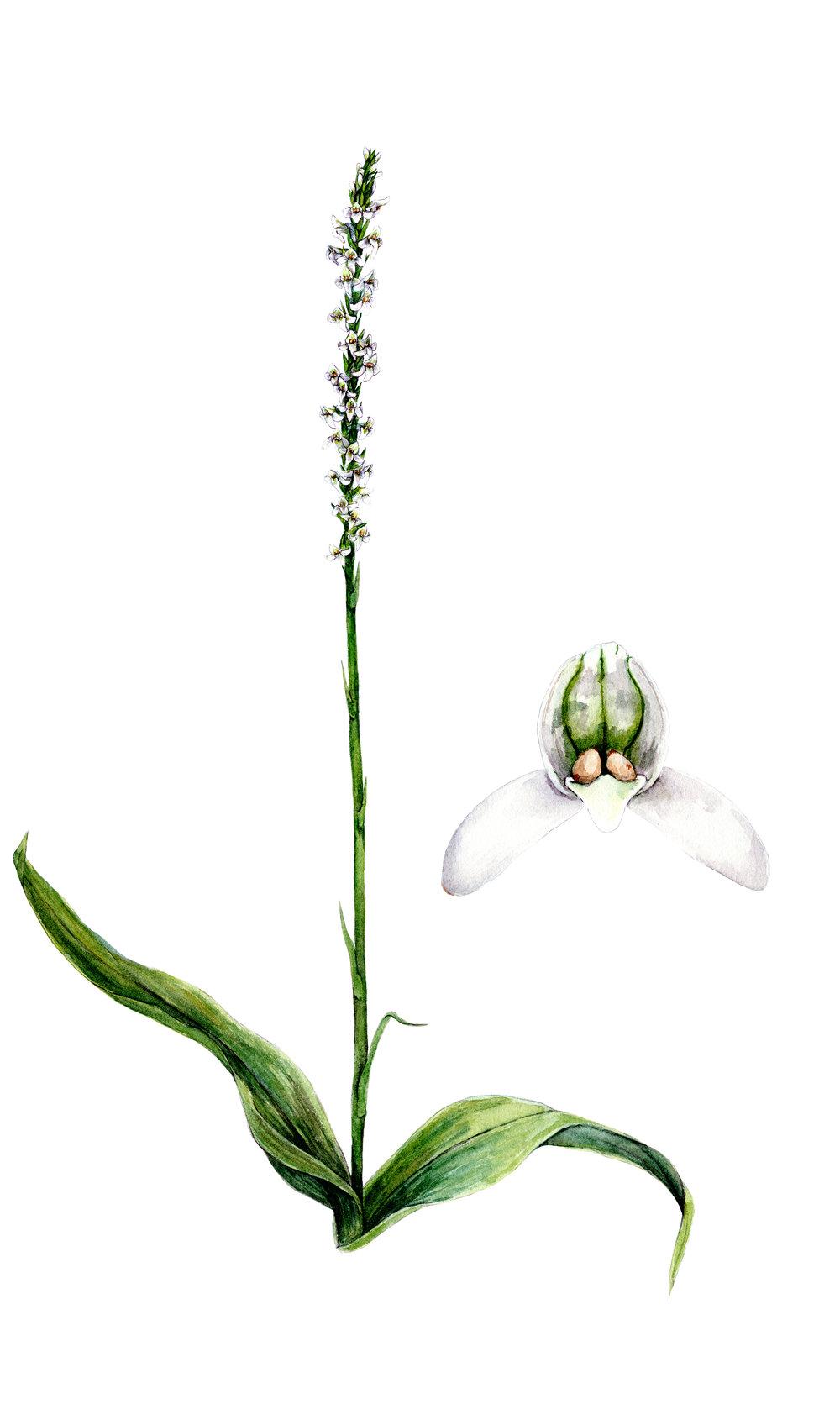 Yadon's Piperia