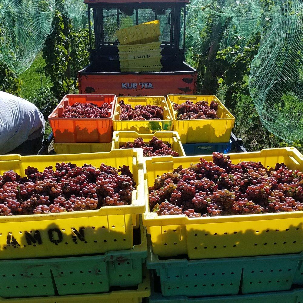 Grape Harvest Rove Estate