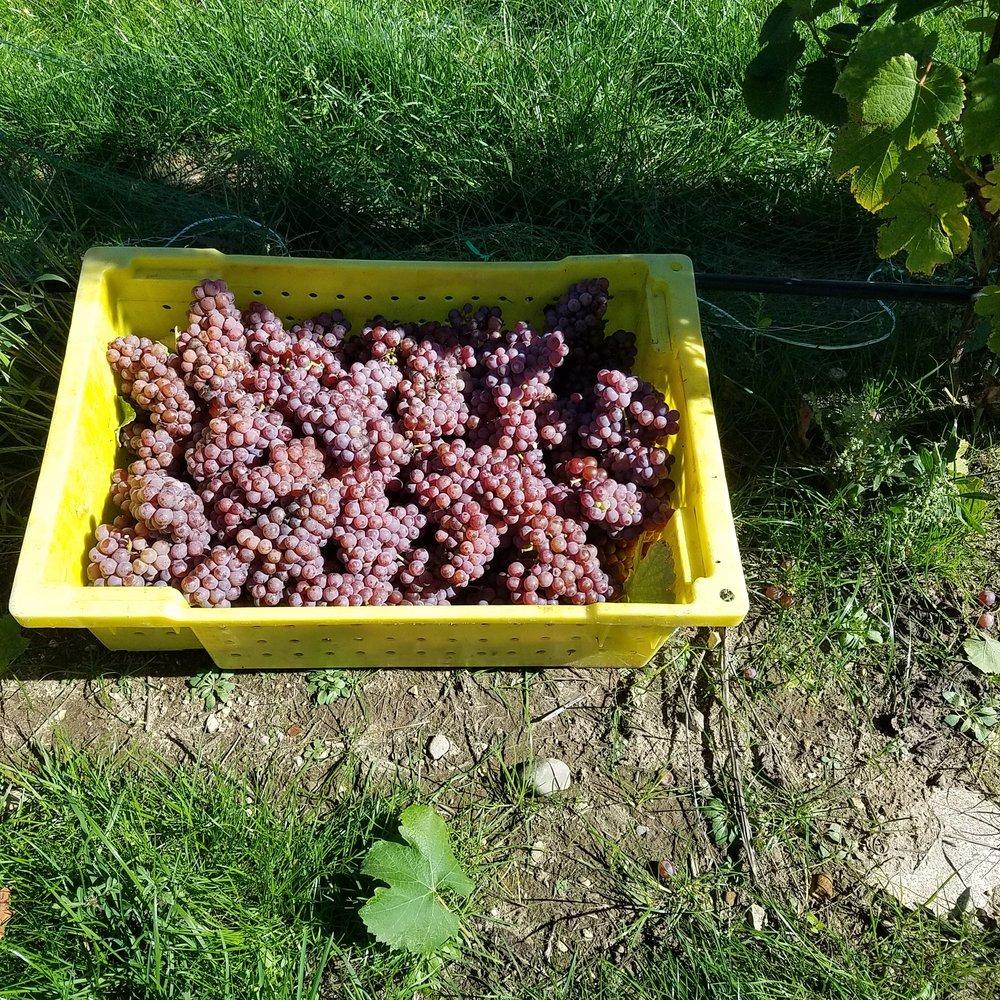 Rove Estate Wine Harvest