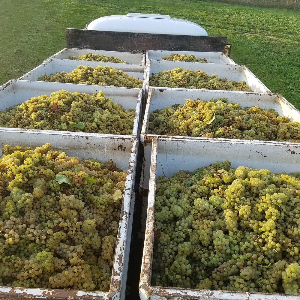 Rove Estate Vineyard Harvest
