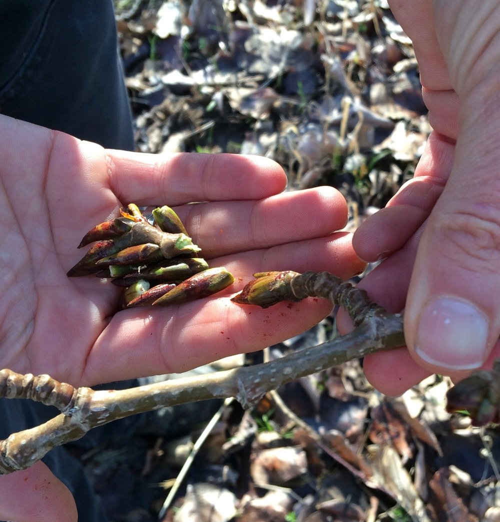 Cottonwood buds.jpg