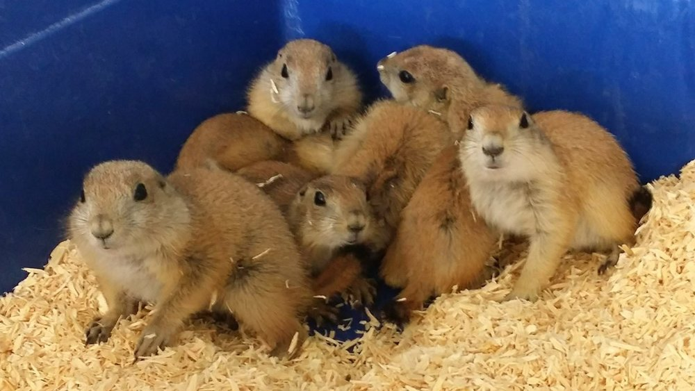 Prairie Dogs$150 - The black-tailed prairie dog is a very social creature that lives in large family groups and communicates with a complex
