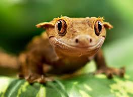 Nacho the Crested Gecko.jpg