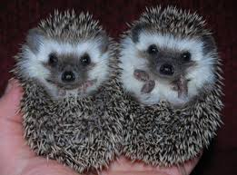 Salt and Pepper the Hedgehogs.jpg