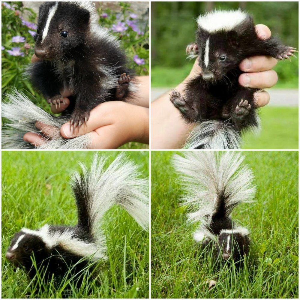 Black and White Skunk -