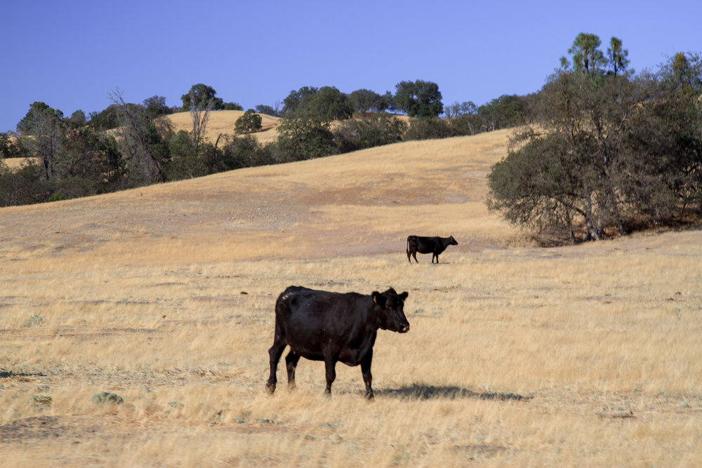 At SkyRose Cattle Company, the animals and land are treated with respect.
