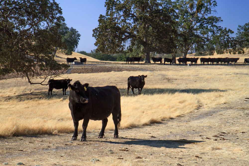 SkyRose Cattle Company brings you beef from humanely treated, grass fed animals.