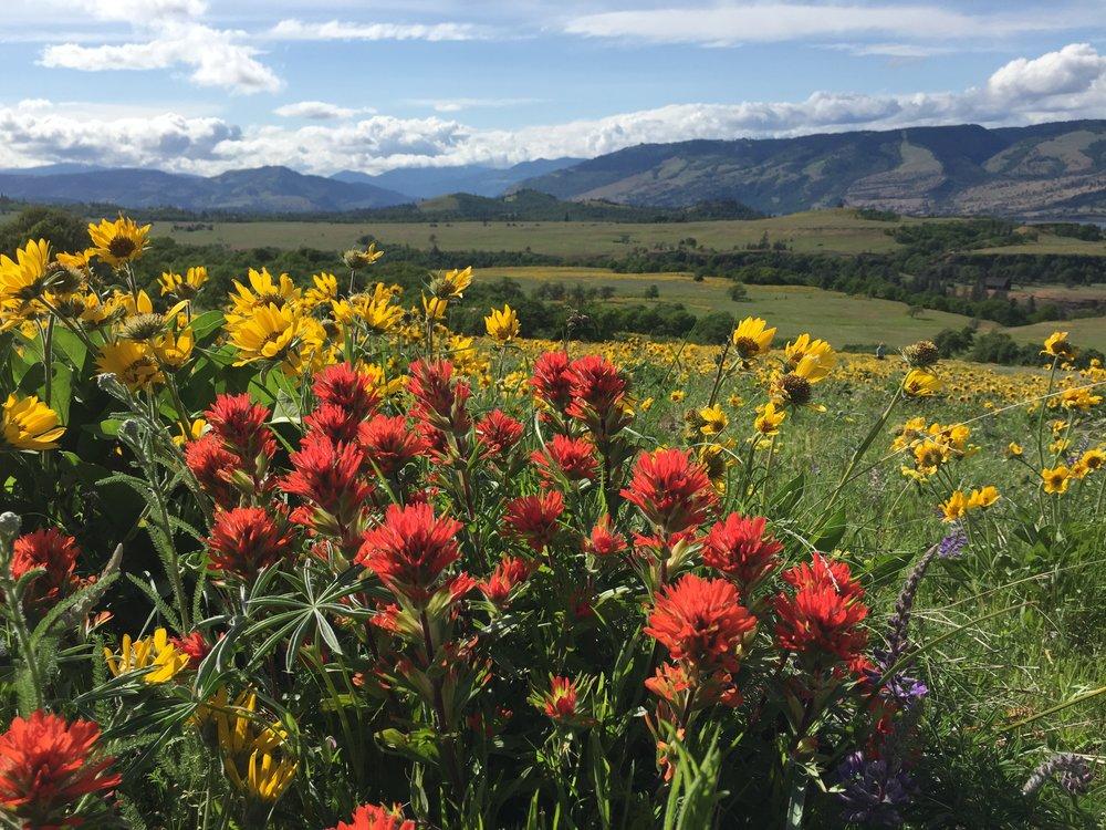 Oregon Stonecrop.jpg
