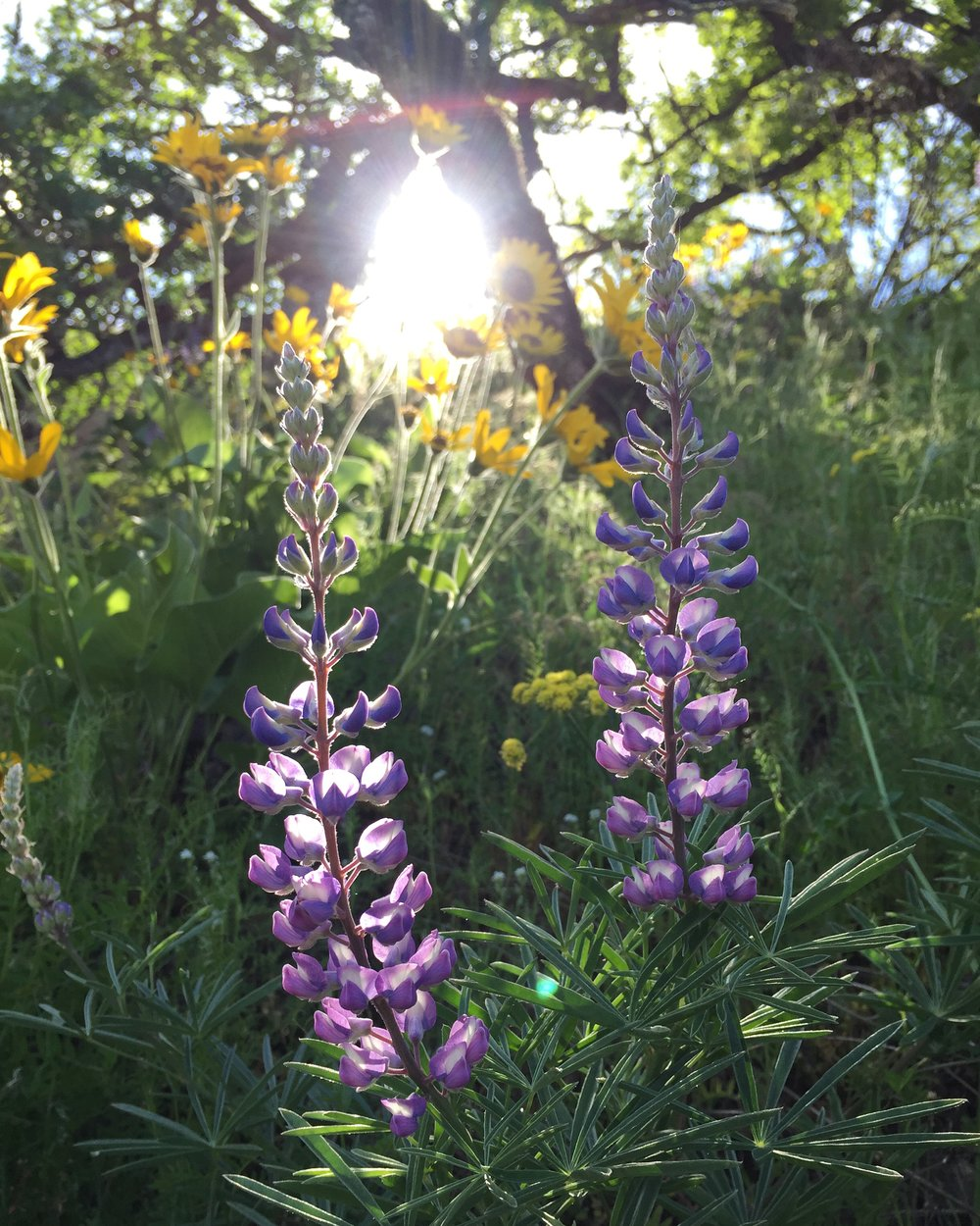 After the Mount St. Helens eruption of 1980, lupine was the first species to take root in the ashes of that massive disturbance event, followed by fireweed, and other early successional species that helped create evermore habitable conditions for other species of annuals, perennials, shrubs, and trees over time.