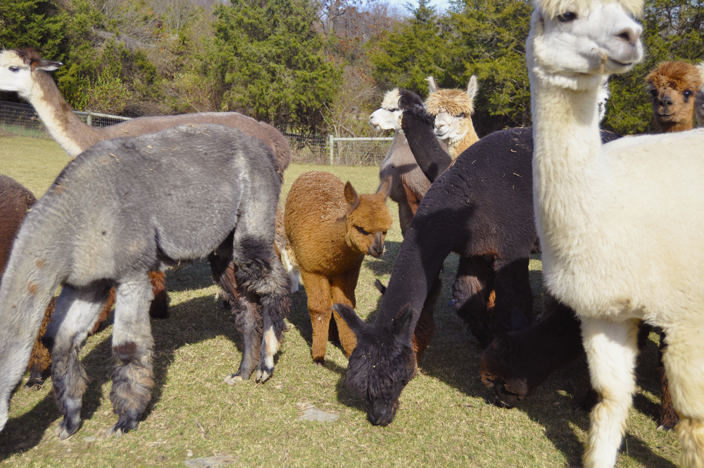 Humming Meadows Alpacas