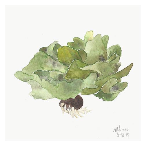 butter lettuce // monica loos