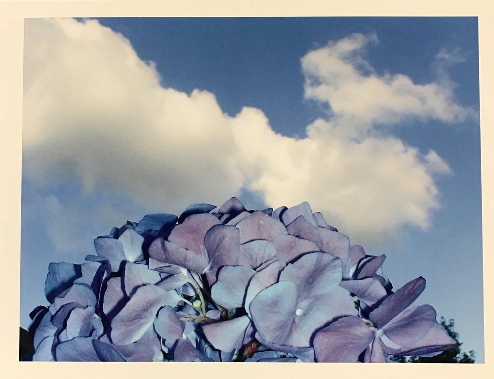Hydrangea Flower Bomb (blue)