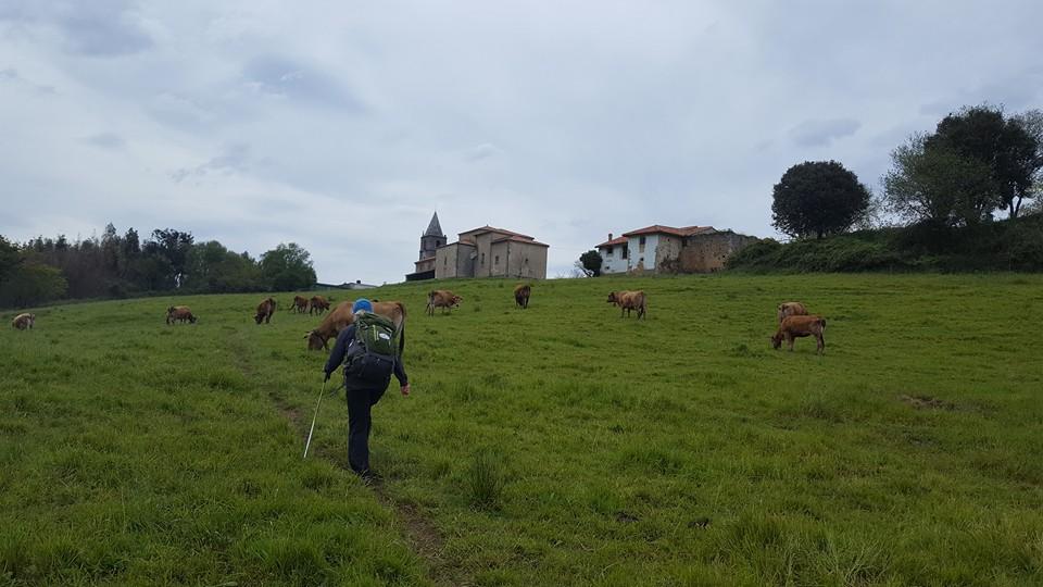Northern Camino cowfield:church:suz.jpg