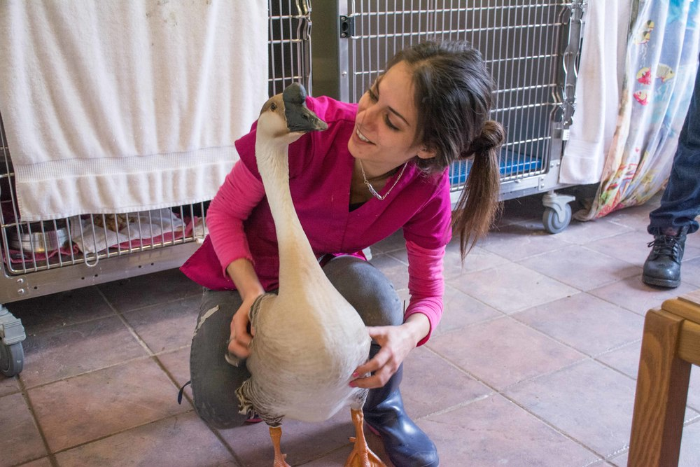 Casper the Friendly Goose - a swan goose