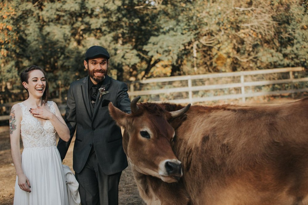 William Hendra Photography Bride Groom Farm Cow Wedding.JPG
